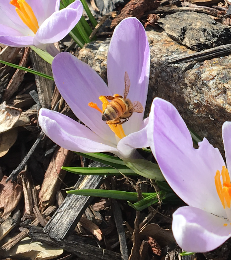 close up of purple crocus flower with bee on yellow stamen